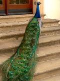 8 peacock