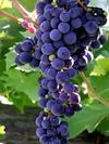 4_palazzo_grapes