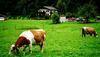 Cows_switz