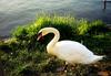 Swan_beilstein